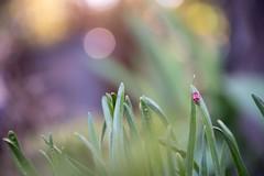 untitled-1-3 (Megs svg) Tags: grass bokeh ladybird spring garden