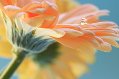 Enchantée (alideniese) Tags: macro closeup flower gerbera petals water waterdrop droplet gotas detail colour colourful light sunlight