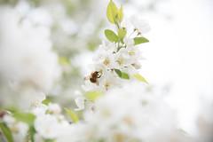 Spring time (jack.mihlenstedt) Tags: tamron2470mm nikond750 white summer plants bees flowers spring