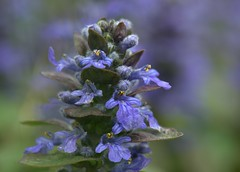 Ajuga (KsCattails) Tags: ajuga ajugareptans april bugleweed evening flower kscattails purple soft yard perennial shade spreading groundcover