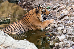 958 Day 6 Tigers (brads-photography) Tags: coolingdown coolingoff india laiddown laying male nationalpark pantheratigristigris rajasthan ranthambore reflection resting royalbengaltiger sawaimadhopur sideon t57 tiger tigerreserve water waterhole wildlife