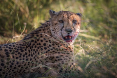 Cheetah after a kill (johannekekroesbergen) Tags: jachtluipaard eating food wildlife predator blood kill safari cheetah nature pilanesberg hunter bigcat animal