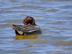 Eurasian teal (Corine Bliek) Tags: anascrecca bird birds vogel vogels nature natuur wildlife ducks waterfowl birding eend duck water blue