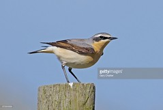 Wheatear male (Gary Chalker, Thanks for over 2,000,000. views) Tags: wheatearmale wheatear bird k5 pentaxk5 pentaxfa600mmf4edif pentax