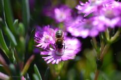 DSC_8076 (miguelmv85) Tags: bokeh flores macro abejas