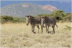 Mr & Mrs Stripy! (MAC's Wild Pixels) Tags: mrmrsstripy zebra zebras grevyszebra equusgrevyi herbivore africanwildlife wildlife wildafrica outdoors wildanimal ungulates animal outofafrica buffalospringsnationalreserve samburu kenya macswildpixels grazer savannahplains courting endangered endangeredspecies ngc npc