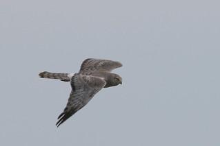 Busard St-Martin (Mâle) -  Norther Harrier