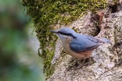 Nuthatch (Keith Grafton) Tags: leightonmoss nuthatch birds