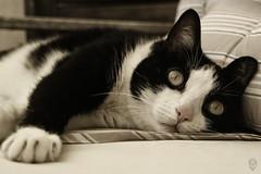 For Kitty (Lick, Lick, Lick ...) (Egg2704) Tags: gato gatos cat cats felino felinos animal animales animalia desaturado tola egg2704 cc100
