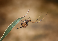 Someone Saved My Life Tonight (Kathy Macpherson Baca) Tags: explore animal animals insect spider poisonous brownwidow invertabrate dangerous nature world planet earth fangs macro wildlife web predator