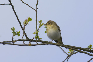 Willow Warbler on pussy willow