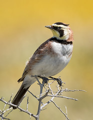 Horned Lark (alicecahill) Tags: california usa wild wildlife hornedlark sanluisobispocounty bird ©alicecahill carrizoplain lark animal