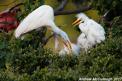 Feeding Time (Let there be light (Andy)) Tags: texas texasbirds birds smithoaks smithoaksrookery rookery egrets houstonaudubon highisland highislandtexas feeding