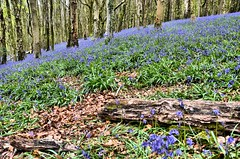 Bluebell Wood (X37A_ALEX) Tags: bluebells woods forrest flower wildflowers nikond7000