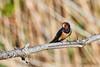 Screaming Swallow (amedeo700) Tags: tuscany scream toscana bird birdwhatching italy italia birds rondine urlo swallow