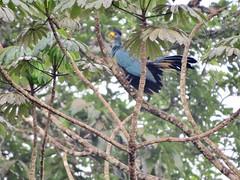 Great Blue Touraco (benyeuda) Tags: bird birdwatching cameroon africa westafrica centralafrica forest rainforest tropicalrainforest africanrainforest congobasin corythaeolacristata turaco greatblue coolbird beautifulbird bigbird exoticbird colorfulbird