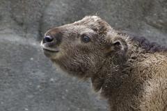 HTT (ucumari photography) Tags: ucumariphotography cincinnati zoo ohio april 2017 budorcastaxicolor takin animal mammal dsc2006 meg