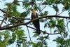 Common Hawk Cuckoo (Saleh Reza) Tags: bird pakhi university ru nature rajshahi bangladesh
