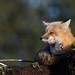 Renard roux / Red fox (richard_morel) Tags: richard morel dunham