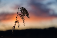 (Øyvind Bjerkholt (Thanks for 38 million+ views)) Tags: straw minimalistic sunset dof bokeh canon beautiful artistic art vivid nature arendal norway negativespace