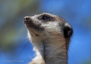 Meerkat Sweetie