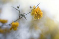 Endlich Frühling... (angelika.kart) Tags: natur pflanzen blüte bokeh blumen blatt gelb frühling ranunkel
