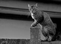 le mur (ladyhawk ( facebook francine lacroix )) Tags: noir et blanc chat