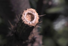 7/6 The Return of Beaver - 19 IV 2017 (el.gritche) Tags: hymenoptera france 40 garden apidae xylocopairis nest behavior