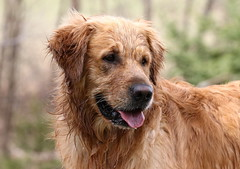 It's Wet Outside? I Haven't Noticed (Diane Marshman) Tags: thedude the dude golden retriever large dog breed wet fur portrait spring northeast pa pennsylvania nature outdoors