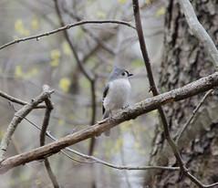 Tufted Titmouse (Neil DeMaster) Tags: bird songbird titmouse tuftedtitmouse nature wildlife conservation njwildlife njbird