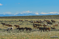 Moving the Herd (kevin-palmer) Tags: cody greybull wyoming blm friendsofalegacy wild horses mustangs animals wildlife spring april sunny blue sky sagebrush herd bighornmountains mcculloughpeaksmustangs snowcapped nikon180mmf28 telephoto