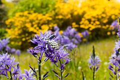 Camassia leichtlinii subsp. suksdorfii (Keith in Exeter) Tags: camassia flower blue garden azalia bush shrub yellow plant outdoor nationaltrust devon england uk killerton