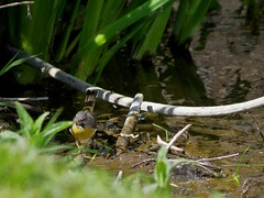 1391-29L (Lozarithm) Tags: calne wilts rivers rivermarden birds wagtails pentax zoom k50 55300 hdpda55300mmf458edwr