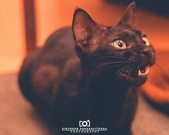 Black Cat (Dinushan Paranavithana) Tags: cat black blackcat catblack mouth open sharp teeth surprise food srilanka sri lanka roshan upasena