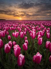 Sleep well Tulips