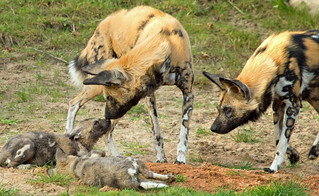 Painted Dog Family