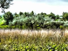 P1120098_DAP_2X_Re-Acrylic (Guy_Masavi) Tags: olives gard nîmes picholine