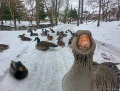 Goose Photobomb by Eric Reed (AccessDNR) Tags: snow birds geese ducks hagerstown citypark washingtoncounty