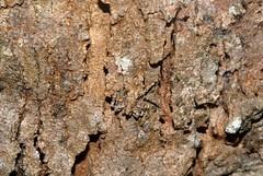 Crab Spider (dustaway) Tags: australianspiders stephanopis crabspider crypsis camouflage bark myrtaceae arachnid spiders arthropoda arachnida araneae araneomorphae thomisidae spinne natur araignee
