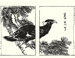 Common hill myna (Japanese Flower and Bird Art) Tags: bird art japan japanese book hill picture common nagasaki woodblock religiosa myna tatebe sturnidae gracula readercollection ryotai