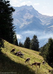 Swiss: cows and Alps (kimbenson45) Tags: trees brown mountains alps green nature misty clouds landscape switzerland cows swiss peak alpine pasture hillside valais vaud ruralscene dentsdumorcle