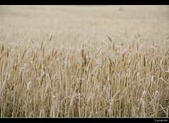 Campos de Castilla (Pogdorica) Tags: campo soria trigo castilla medinaceli trigal camposdecastilla