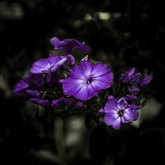 Wildflowers (mph1966) Tags: flowers blue blur flower color colors canon focus dof purple iso400 depthoffield 7d bloom 365 f8 24105 105mm 24105l project365 canon24105l canon24105 1125seconds canon7d colorsinourworld