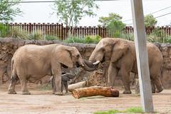 elebaby9280z (Reid Park Zoo) Tags: elephant september nandi calf debut 2014 reidparkzoo elephantbaby