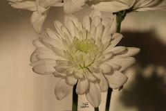 * (najla sohaibani) Tags: white flower green canon riyadh    gutenabend  goodafternoon buonasera     akamlar