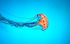 Jellyfish at Aquarium of the Pacific, Long Beach, CA, USA. (SETIANI LEON) Tags: voyage california ca usa fish beach america canon eos aquarium losangeles los long jellyfish unitedstates pacific angeles united longbeach journey 7d states unis californie mduse etatsunis etats amerique