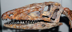 Coelophysis bauri theropod dinosaur (Chinle Formation, Upper Triassic; Coelophysis Quarry, Ghost Ranch, Rio Arriba County, northern New Mexico, USA) 2 (James St. John) Tags: ranch new mexico ghost formation chinle triassic coelophysis