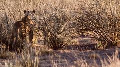 Lion (trekmaniac-is-back) Tags: lion 1998 faune diapo namibie etoshanationalpark
