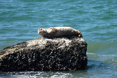 Basking in the sun.... (Jenny Thynne) Tags: vancouver mammal seal harbourseal phocavitulina