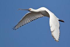 spatola (lucafura) Tags: uccelli palude spatola acquatici